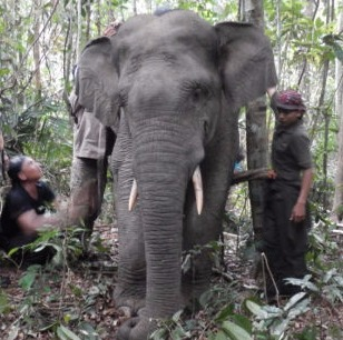 A Sumatran elephant is equipped with a GPS transmitter