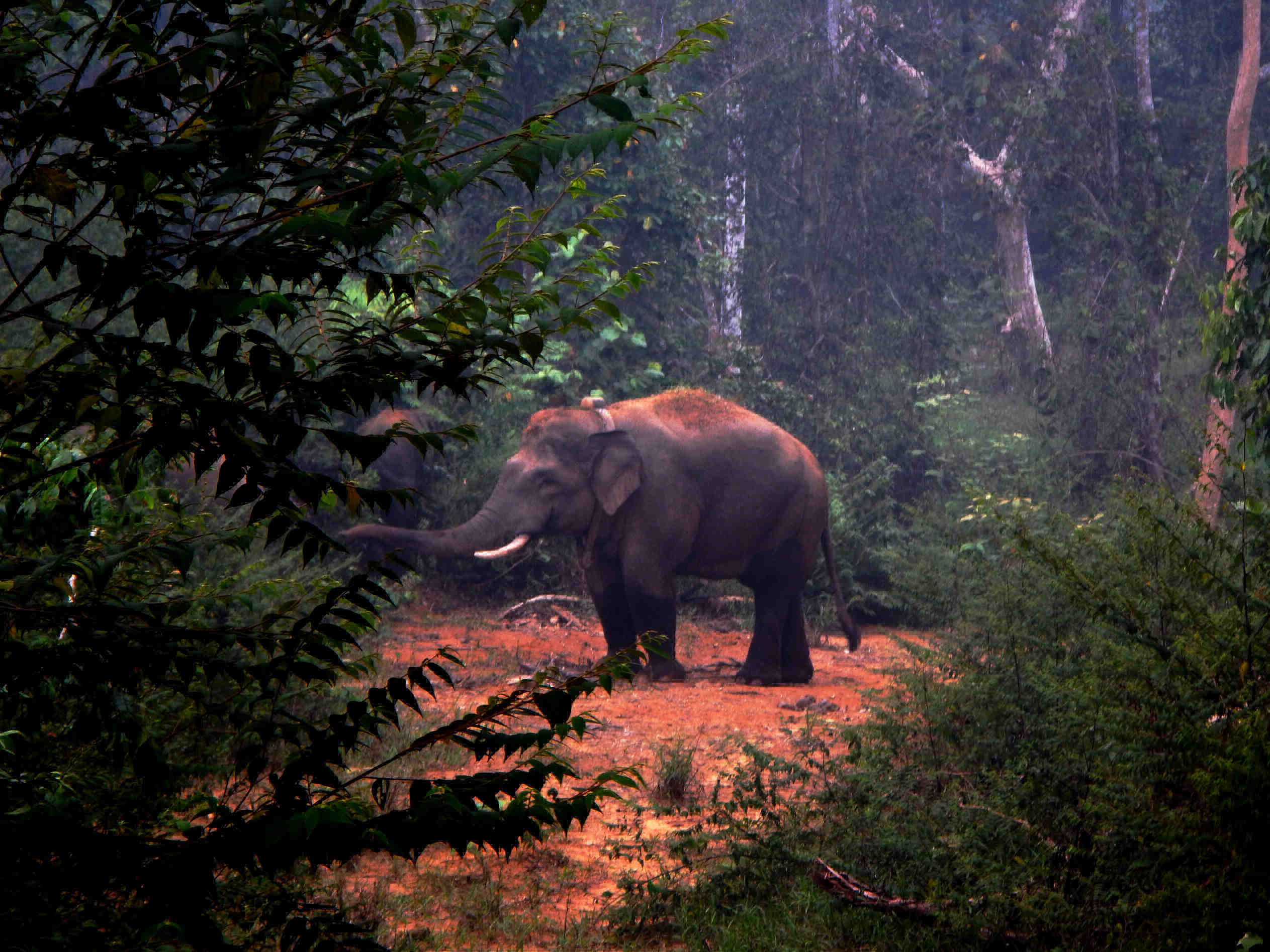 A Sumatran elephant named Dadang stands in a clearing