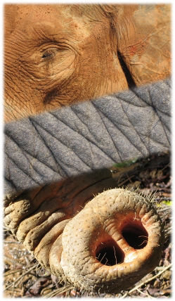 A collage with an elephant eye, elephant skin and elephant trunk